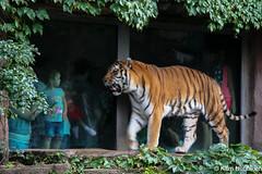 Snarling Tiger, Staring Girl (Damork) Tags: tiger tiikeri girl tyttö snarling staring zoo