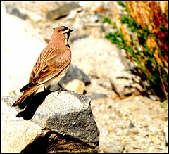 Bird 1 SF (Rajesh Bhalla) Tags: pangonglake pangongso birds landscapes hornedlarks hornedlark lark larks leh ladhak