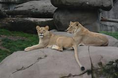 Portland, OR - Washington Park - Oregon Zoo - Africa - Predators of the Serengeti - African Lion (jrozwado) Tags: northamerica usa oregon portland zoo washingtonpark lion cat predator serengeti africa