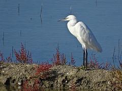 aigrette garzette (camaroem56) Tags: oiseaux marins marais eau extrieur animal oiseau france noirmoutier