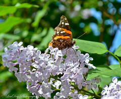 Beautiful Butterfly on Lilac... 4.21.2012 (LisaDeyNJ) Tags: blue green beautiful butterfly spring nikon purple lilac april 2012 d5100 ringexcellence