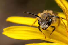 Peek a Boo (Oliver C Wright) Tags: flower macro minerbee