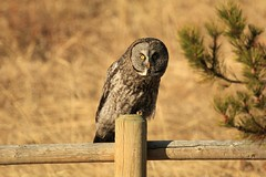 Great Grey Owl (K Fletcher) Tags: canada calgary bird greatgreyowl raptor alberta owl