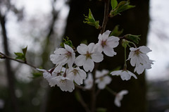 IMGP6927 (Amad) Tags: flower japan spring   sakura kiryu