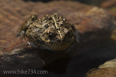 """Boreal Toad • <a style=""""font-size:0.8em;"""" href=""""http://www.flickr.com/photos/63501323@N07/7143940221/"""" target=""""_blank"""">View on Flickr</a>"""