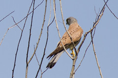 / Eurasian Kestrel male / Falco tinnunculus (Panayotis1) Tags: birds canon aves greece animalia chordata canonef400mmf56lusm imathia   66 tafros66 kenkopro300afdgx14x