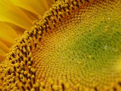 2009 Edmonton garden (alisonborealis) Tags: flower yellow garden edmonton alberta sunflower 2009 girasole