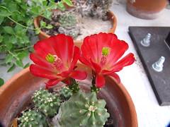 CLARET-CUP HEDGEHOG CACTUS BLOOMING (Aquila-chrysaetos) Tags: cactus plants flower cacti utah succulent flora bloom cactaceae cultivated bloosum