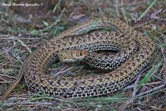 Malpolon monspessulanus (David Herrero Glez.) Tags: madrid snake lizard escalera culebra herp rivas reptil coluber sureste ofidios bastarda malpolon monspessulanus serpetenes