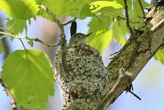Gnatcatcher at Home (jannagal) Tags: usa green bird nature leaves canon moss spring nest michigan wildlife spiderweb lichen nesting gnatcatcher bluegraygnatcatcher polioptilacaerulea lakeeriemetropark jannagal jannagalski