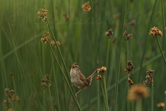 A marsh Wren tells his story in a song (Eyesplash - There is a change in the air.) Tags: green bird reeds singing bokeh song tail small smooth beak feathers marsh marshwren reifelbirdsanctuary mygearandme