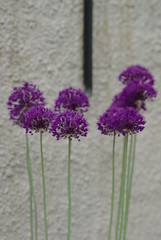 Allium hollandicum (Susanne Hjert Wiik) Tags: allium ornamentalonion purplesensation alliumhollandicum kulelk