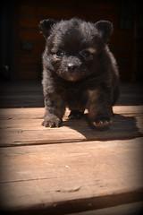 (kristi_Nikon_D1X) Tags: bear dog puppy furry pomeranian fuzzball bearlike