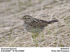 Savannah Sparrow (Bill.Thompson) Tags: birds ak savannahsparrow passerculussandwichensis