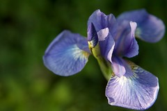 Camera test (secondhobby) Tags: blue iris flower nature raw purple blossom quinta thursdayflower