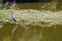 Victoria Falls_2012 05 24_1673 (HBarrison) Tags: africa hbarrison harveybarrison tauck victoriafalls zimbabwe zambeziriver mosioatunya yellowbilledegret taxonomy:binomial=mesophoyxintermedia
