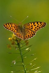 Queen of Spain Fritillary (Danae Sheehan) Tags: summer nature butterfly insect hungary wildlife lepidoptera kiskunsag copyrightdanaesheehan