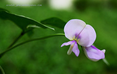 flower 9 (....~'A.r.A.f.A.t'~...) Tags: flowers green beauty sylhet bangladesh arafat vegetableflower goalando