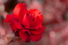 #182 Red Rose (flickranet) Tags: red flower rot colors beautiful rose closeup contrast canon 50mm iso100 dof blossom bokeh redrose blumen handheld blume f28 ef50mmf18ii rote leuchten rosenblte roterose blute canonef50mmf18ii 60d canon60d blatter canoneos60d blutenblatter tiefenscharfe flickranet