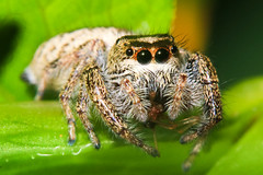 jumping spider eating lunch (Dave Tran) Tags: macro 50mm spider jumping eating arachnid bruce reversed arthropod extensiontube