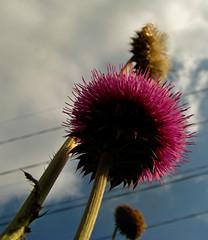 Macro Thistle (greensboropenguin) Tags: flowers macro thistle driedflowers purplethistle powershots5is greensboropenguin