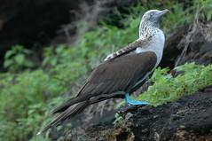 Sula nebouxii (cam17) Tags: galapagos bluefoot bluefootedbooby sulanebouxii warmblooded islafloreana