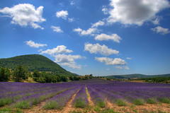 Another lavender field 1 (marcovdz) Tags: france landscape purple lavender fields provence paysage hdr 3xp banon champsdelavande
