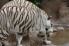 Yangyu Linmao (Olaya Garcia) Tags: white blanco canon eos tiger canarias lp tenerife canary tigris tigre whitetiger loroparque panthera tigreblanco pantheratigristigris 1000d