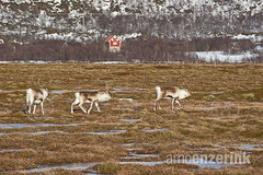 Three reindeer running through the marshes with a red cabin in the background (Arno Enzerink) Tags: red mountain snow ice field grass norway reindeer three cabin no traditional hut pasture marshes troms marshlands sommarøy