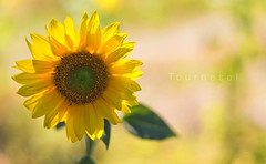 Tournesol (Vemsteroo) Tags: summer france flower beautiful sunshine yellow rural canon 50mm countryside petals flora europe bokeh vibrant fresh depthoffield sunflower 5d balance f18 southoffrance charente newgrowth mkiii mk3 forna beautyinnature stamant