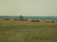 Wildebeest or Gnus in grassland (Real Africa) Tags: africa wild tanzania kenya running safari herd grazing wildebeest wildebeestmigration safarianimal migrationmasimara
