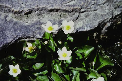 Caltha alba (Himalayan Marigold)