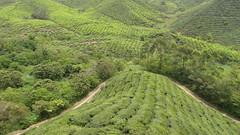 Boh Tea Plantation (blue polaris) Tags: travel tree green leaves station landscape leaf highlands scenery asia estate tea south hill east highland cameron malaysia plantation tropical southeast peninsula pahang boh sungai palas