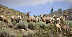 Mountain Sheep (imageseekertoo (Wendy Elliott)) Tags: mountain desert sheep natural wildlife setting