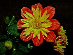 Dahlie (fleckchen) Tags: dahlia flowers sommer blumen gelb blooms garten ot blten dahlie dahlien dahlienblte zwergdahlie zwargdahlien