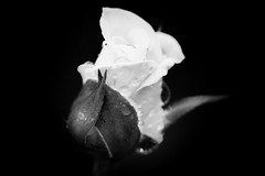 End of Innocence (Priority Mode) Tags: white macromondays flowersinblackwhite rose blume schwartz makro flower monochrome macro