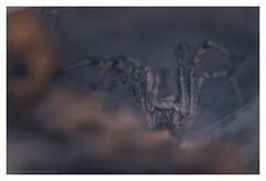 The little house of horror (s1nano) Tags: nissinmf18 tamronadaptall2sp90mmf25 nikond7000 spider arachnides arachnophobia horror dark lowkey nissinmf18ringflash agelenasp eurasiangrassspider agelenidae funnelwebspider