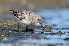 Sanderla - Sanderling - Calidris alba (oskar.sigurmundason) Tags: sanderla sanderling calidris alba iceland island birds birding nikon d7000 sigma 150600 national geographic ngc