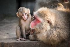 2016-08-13-19h19m08.BL7R9936 (A.J. Haverkamp) Tags: canonef100400mmf4556lisiiusmlens amsterdam zoo dierentuin httpwwwartisnl artis thenetherlands japansemakaak japanesemacaque dob09062016 pobamsterdamthenetherlands