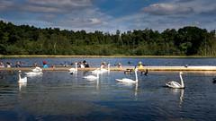 Fietsen door het water (gitte123) Tags: domeinbokrijk dewijers fietspaddoorhetwater landschap water zwanen