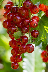Lost in the color of the summer! (dorablancoheras) Tags: fruit summer red green light sun insect currant verano fruta grosella insecto color luz sol verde rojo galicia espaa spain europa europe brillo nature naturaleza planta plant vivid energy