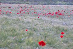 Roselles iii (ea5dfv) Tags: papaver roselles amapolas red