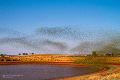 IMG_0581.jpg (Paul Williams www.IronAmmonitePhotography.com) Tags: bird budgerigar summer murmuration dryseason melopsittacusundulatus australia