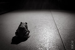 It's a Toad's Life (Explore) (svenpetersen1965) Tags: toad wildlife kosamui changwatsuratthani thailand th