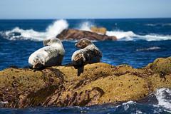 IMG_4480_edited-1 (Lofty1965) Tags: islesofscilly ios seal