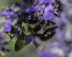 Bee_SAF7815 (sara97) Tags: bee copyright2016saraannefinke flyinginsect insect missouri nature outdoors photobysaraannefinke pollinator saintlouis towergrovepark