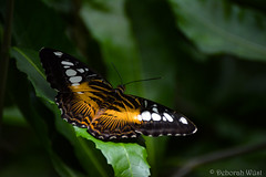 Parthenos sylvia, Clipper (DiDaDoDeborah) Tags: butterfly butterflies vlinder vlinders vlindorado insect flickrinsects closeupinsect bestinsect parthenos sylvia clipper