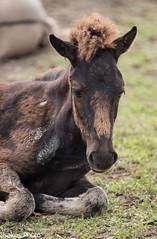 foal konick horse