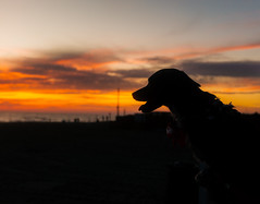 Puppy 'silhouette (lorenzoviolone) Tags: dof dog finepix fujix100s fujifilm fujifilmx100s seascape silhouette sunset x100s closeup clouds colorful depthoffield mirrorless portrait puppy seaside sky streetphoto streetphotocolor streetphotography sunsetcolors tounge walk:fregenae=08162016 fregene lazio italy