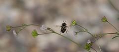 In-Flight Fantasy (harefoot1066) Tags: nyctaginaceae boerhavia spiderling boerhaviaerecta erectspiderling diptera syrphidae aschiza eristalinae volucellini copestylum copestylummarginatumgroup syrphidfly